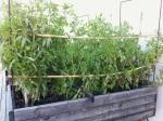 Tomatigueres...a la terrassa